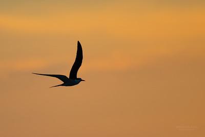 Bridled Tern, Lady Elliot Island, QLD, Dec 2015-6