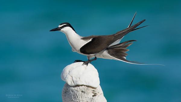 Bridled Tern, Lady Elliot Island, QLD, Dec 2015-13