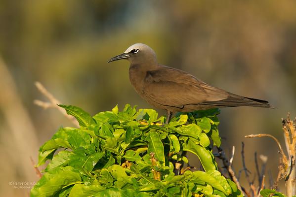 Common Noddy, Lady Elliot Island, QLD, Dec 2015-6