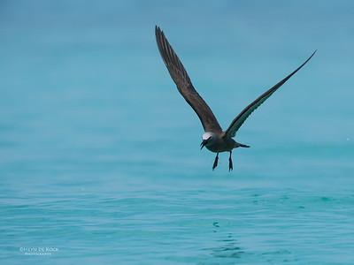 Common Noddy, Michaelmas Cay, QLD, Dec 2014-5