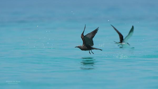 Common Noddy, Michaelmas Cay, QLD, Dec 2014-4