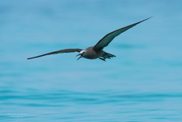 Common Noddy, Michaelmas Cay, QLD, Dec 2014-9