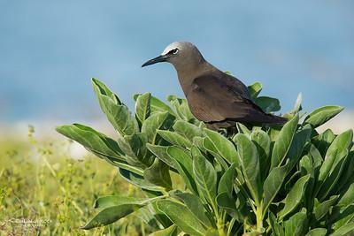 Common Noddy, Lady Elliot Island, QLD, Dec 2015-11