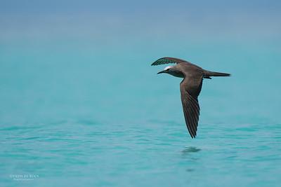 Common Noddy, Michaelmas Cay, QLD, Dec 2014-7
