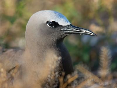 Common Noddy, Lady Elliot Island, QLD, Dec 2015-12