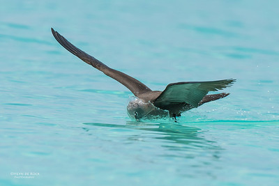 Common Noddy, Michaelmas Cay, QLD, Dec 2014-1