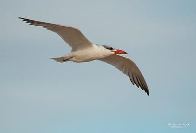 Caspian Terns, Lake Woolumbulla, NSW, Aus, Apr 2013-2
