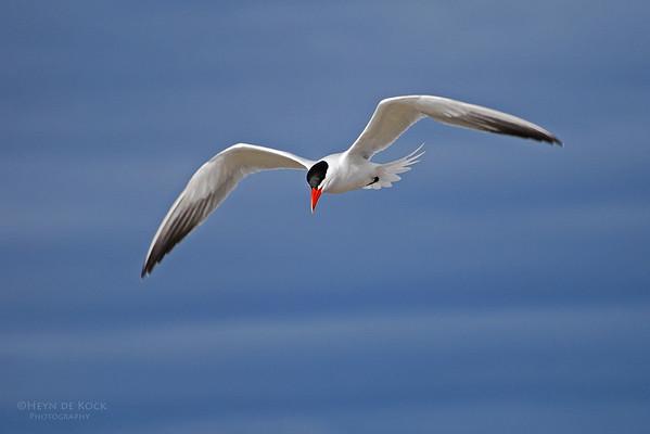 Caspian Tern, Peaceful Bay, WA, Aus-1