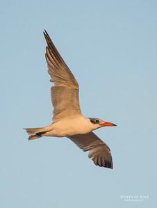 Caspian Tern, Lake Woolumbulla, NSW, Aus, Apr 2013