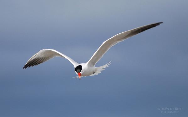 Caspian Tern, Peaceful Bay, WA, Aus
