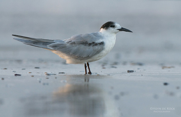 Common Tern, Hastings Point, NSW, Aus