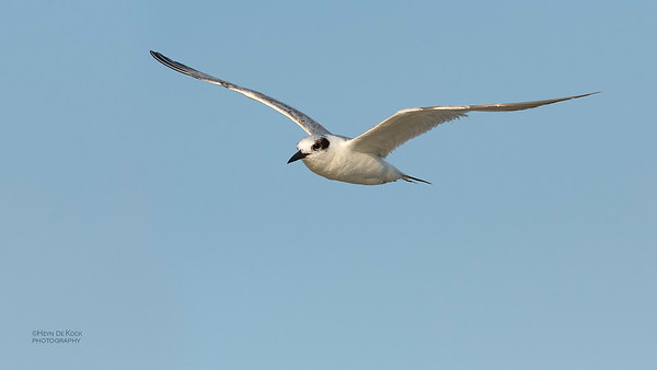 Foster's Tern, Fort De Soto, St Petersburg, FL, USA, May 2018-2