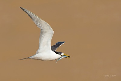 Crested Tern, Lake Wollumboola, NSW, Jan 2015