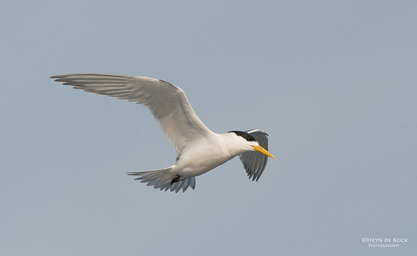 Crested Tern, Wollongong Pelagic, NSW, Aus, Jul 2013