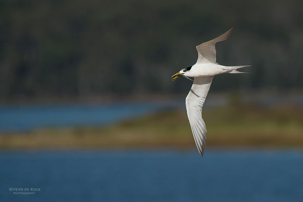 Crested Tern, Lake Wollumboola, NSW, Jan 2015-4