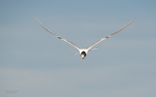 Crested Tern, Wollongong Pelagic, NSW, Aus, Apr 2014-2