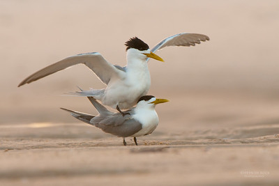 Crested Tern, Hastings Point, NSW, Mar 2011