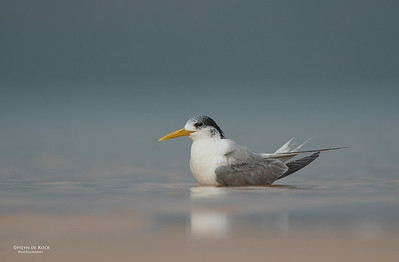Crested Tern, Lake Woolumbulla, NSW, Aus, Jan 2013-2