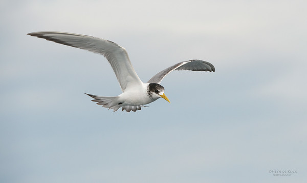 Crested Tern, Wollongong Pelagic, NSW, Aus, Apr 2014-1