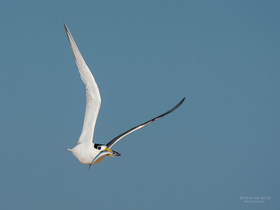 Crested Tern, Lake Wollumboola, NSW, Jan 2015-5