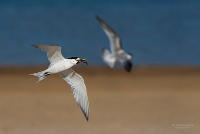 Crested Tern, Lake Wollumboola, NSW, Jan 2015-3