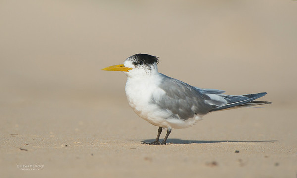Crested Tern, Batemans Bay, NSW, Aus, Oct 2012