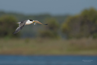 Crested Tern, Lake Wollumboola, NSW, Jan 2015-1