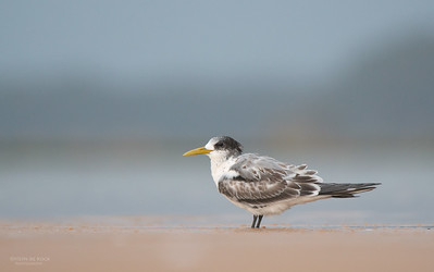 Crested Tern, Lake Woolumbulla, NSW, Aus, Jan 2013