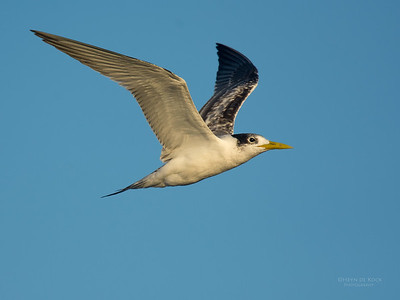 Crested Tern, Southport Pelagic, QLD, March 2016