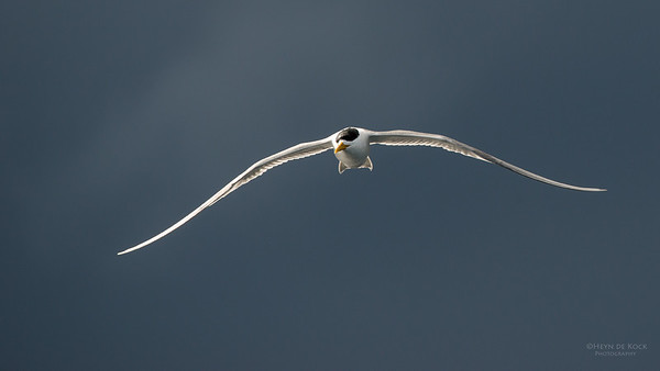 Crested Tern, Wollongong Pelagic, NSW, Aus, Aug 2014-1