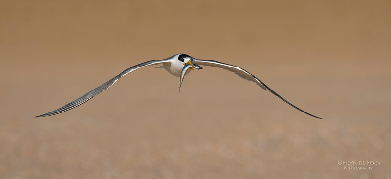 Crested Tern, Lake Wollumboola, NSW, Jan 2015-6