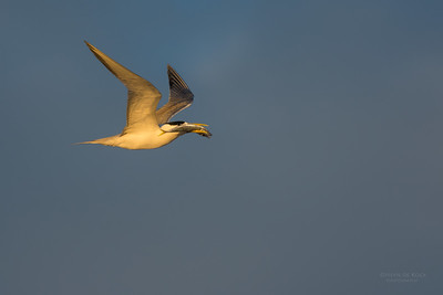 Crested Tern, Lady Elliot Island, QLD, Dec 2015-1