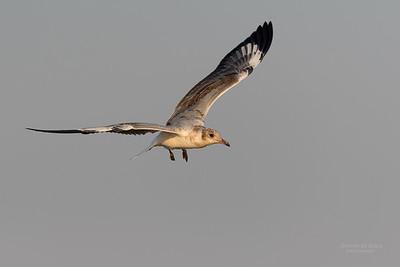 Grey-hooded Gull, imm, Chobe River, NAM, Oct 2016-2
