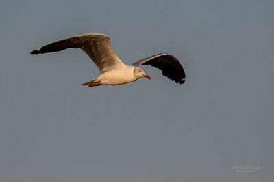 Grey-hooded Gull, Chobe River, NAM, Oct 2016-1
