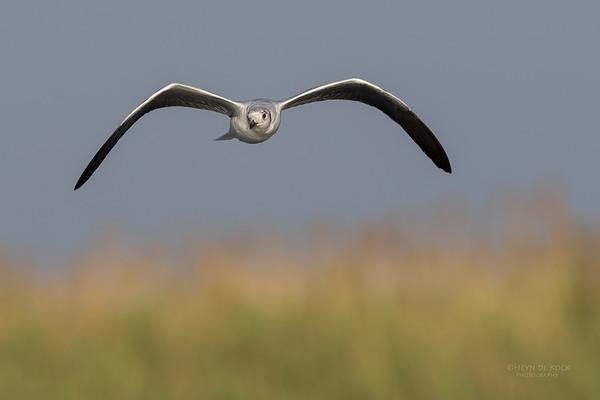 Grey-hooded Gull, imm, Chobe River, NAM, Oct 2016-4