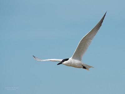 Gull-billed Tern, Lake Wollumboola, NSW, Nov 2014-1