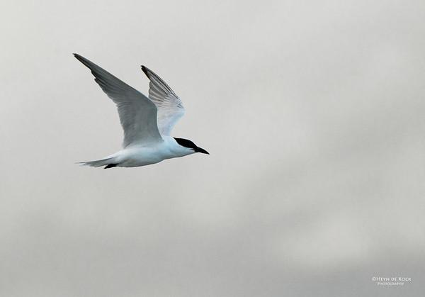 Gull-billed Tern, Lake Woolumbulla, NSW, Aus, Apr 2013