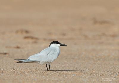 Gull-billed Tern, Lake Woolumbulla, NSW, Aus, Apr 2013-1