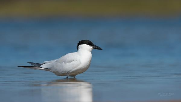 Gull-billed Tern, Lake Wollumboola, NSW, Nov 2014-2