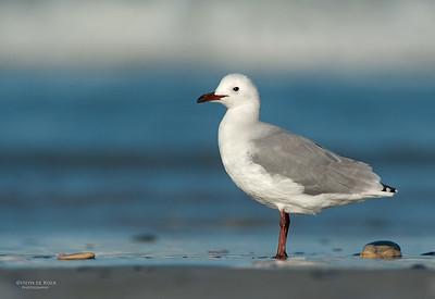 Hartlaub's Gull, West Coast NP, WC, SA, Jan 2014-2