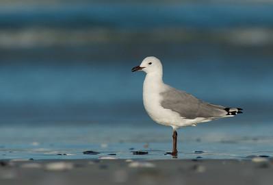 Hartlaub's Gull, West Coast NP, WC, SA, Jan 2014-1