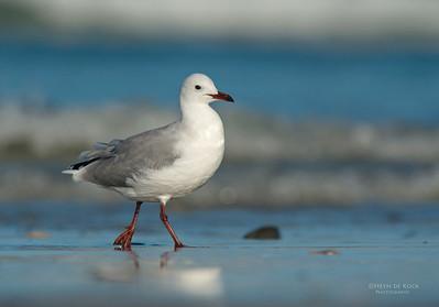 Hartlaub's Gull, West Coast NP, WC, SA, Jan 2014