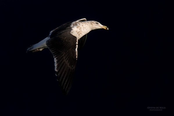 Kelp Gull, Eaglehawk Neck Pelagic, TAS, May 2016-2