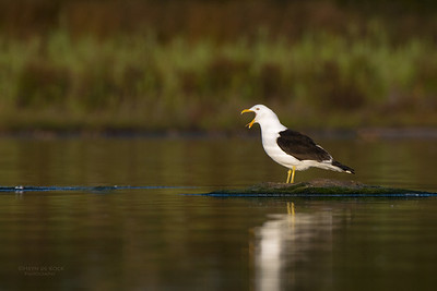 Kelp Gull, Lake Wollumboola, NSW, Nov 2014-2