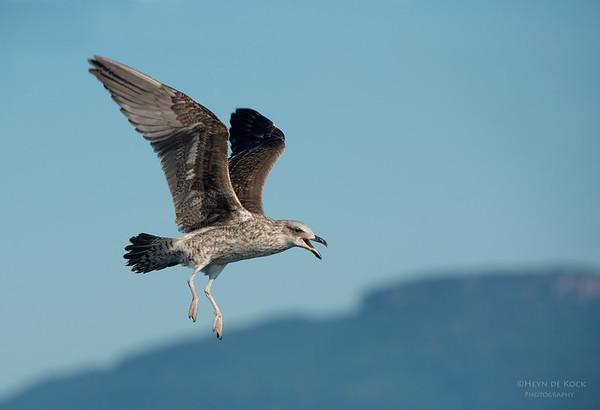 Kelp Gull, Wollongong, NSW, Aus, Sep 2013 copy