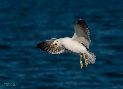 Kelp Gull, Wollongong Pelagic, NSW, Aus, Aug 2013-2