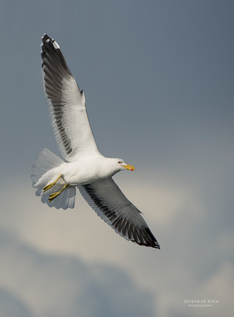 Kelp Gull, Wollongong Pelagic, NSW, Aus, May 2014-3