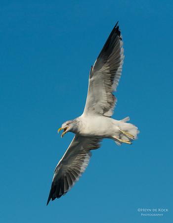 Kelp Gull, Wollongong, NSW, Aus, May 2013