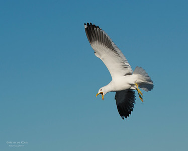 Kelp Gull, Wollongong Pelagic, NSW, Aus, Aug 2013-1