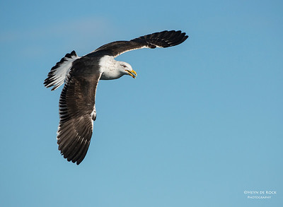 Kelp Gull, sub-adult, Wollongong Pelagic, NSW, Aus, Sep 2012